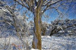 Eiche im Frost