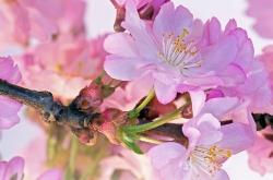 Kirschblüten II
