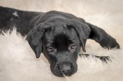 Fast & Spirited- Labradors, Abby