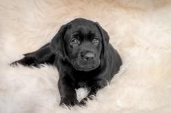 Fast & Spirited- Labradors, Angel