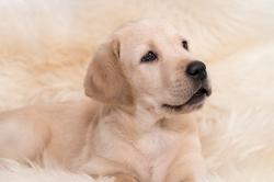 Fast & Spirited- Labradors, Basti