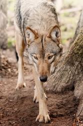 Auf leisen Sohlen  (Timberwolf)
