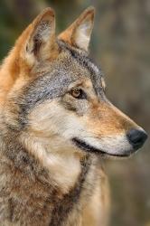 In Erwartung (Timberwolf)