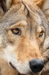 Timberwolf Portrait