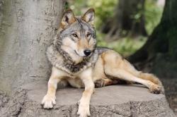 Alles im Blick (Timberwolf)