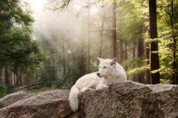 weißer Timberwolf