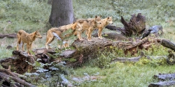 Fünf Wölfe und ein Rabe