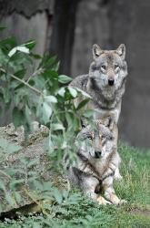 Zwei Wölfe