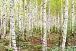 Birkenwald  - limitiert -