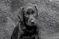 Fast & Spirited- Labradors, Alma