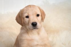 Fast & Spirited- Labradors, Anka