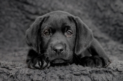 Fast & Spirited- Labradors, Coby
