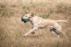 Fast & Spirited Labradors , Basti, 7 Monate alt