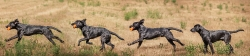 Fast & Spirited Labradors, Coby, 7 Monate