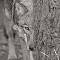 Neugierig (Timberwolf)