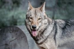 Timberwolf in der Dämmerung